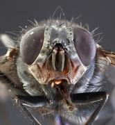 housefly macro - stock photo