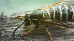 Close-up of wasp cleaning Stock Footage