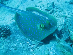 Bluespotted ribbontail ray hunting for food Stock Footage