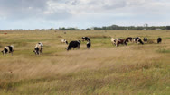 Stock Video Footage of Cows and birds, landscape