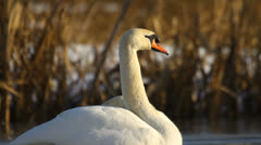 White mute swan on ice in winter, close-up Stock Footage
