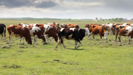 Stock Video Footage of Grazing cow dairy cattle