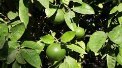 unripe orange on branch - stock footage