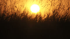 Wildebeests seen through tall grass and sunrise Stock Footage