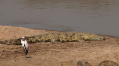 Nile crocodile resting next to yellow billed stork Stock Footage