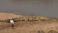 Stock Video Footage of nile crocodile resting next to yellow billed stork