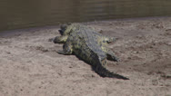 Stock Video Footage of nile crocodile resting on the banks of mara river