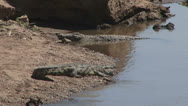 Stock Video Footage of nile crocodile resting alongside a hippo