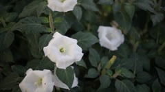 Moonflower above Stock Footage