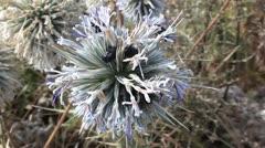 Beetles on thistle flower Stock Footage