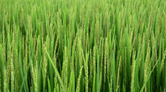 Stock Video Footage of Young rice stalks swaying in the wind. Vietnam