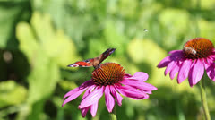 Stock Video Footage of Butterfly feeding on  pink flower