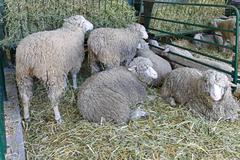 ewe farm - stock photo