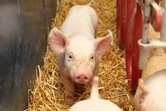Stock Photo of piglets