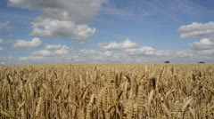 Field of wheat ripening in the sun Stock Footage