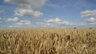 Stock Video Footage of field of wheat ripening in the sun