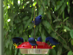 Purple Honeycreepers at Asa Wright Nature Centre, Trinidad Stock Footage