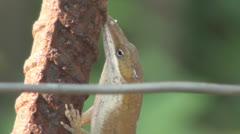 Lizard On Rebar Stock Footage