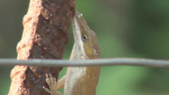 Stock Video Footage of Lizard On Rebar