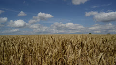 Time lapse field of wheat ripening in the sun on beautiful summers day Stock Footage