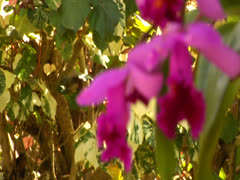 Pink Orchid (Rack) - stock footage