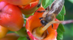 Bee gathering pollen from a flower with ant Stock Footage