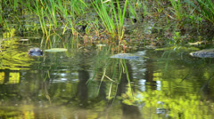 Snapping Turtles And Beaver Stock Footage