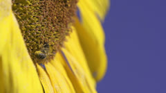 Sunflower and working bee slow motion, blue sky and sunny weather Stock Footage