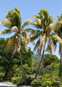 Coconut palm trees in key west Stock Photos