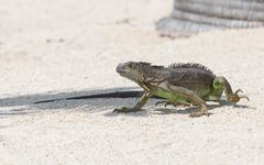 Iguana the unwelcome guest Stock Photos