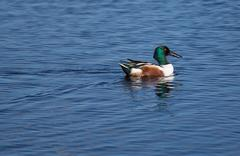 northern shoveler in bright plumage - stock photo