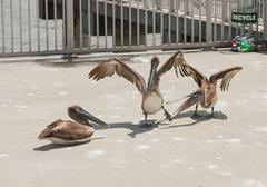 pelican party time - stock photo