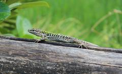 Lizard on Wood - stock photo