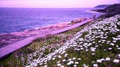 Flowers and a boardwork beside the ocean at sunset D6N 4663 NTSC Stock Footage