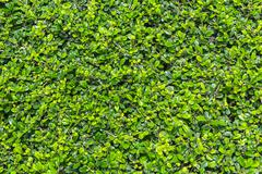green fukien tea tree background - stock photo