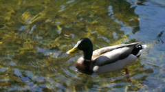 Beautiful Mallard Duck Swims Close Up, Then Paddles Away from Camera Stock Footage