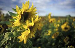 Sunflowers in field Stock Photos