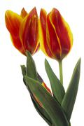 Tulips against white background, (Tulipa gesneriana), close-up - stock photo