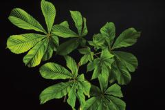 Horse chestnut leaves (Aesculus hippocastanum), elevated view Stock Photos