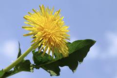 Voikukka (Taraxacum officinale) Kuvituskuvat