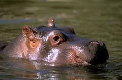 Hippopotamus amphibious Stock Photos