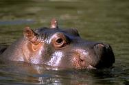 Stock Photo of Hippopotamus amphibious