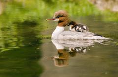 Goosander with pout on its back Stock Photos