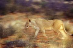 South Africa, Northern Cape, Game Drive, Tswalu Kalahari Reserve, southern - stock photo