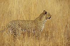 South Africa, Mpumalanga, Sabi Sand Nature Reserve, Leopard - stock photo