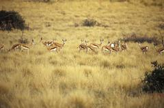 South Africa, Northern Cape, Southern Kalahari, Game Drive, Tswalu Kalahari - stock photo