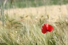 minimalist view of a red poppy - stock photo