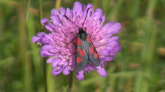 Beautiful summer butterfly (Zygaena) on flower  and wind Stock Footage
