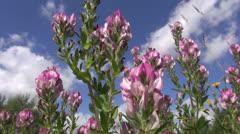 Restharrow (Ononis arvensis)  medical herb flowers on summer meadow Stock Footage