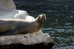 Germany, Gelsenkirchen, Zoom Erlebniswelt, Sea Lion - stock photo